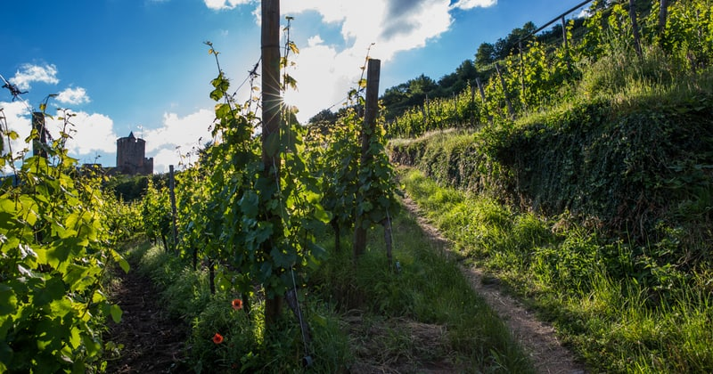 Alsace wine tour - Credits Meyer and ADT Alsace