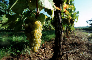 Vines and bunch of grapes Christophe MEYER ADT HAUT-RHIN