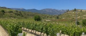 rioja wine tours -vines